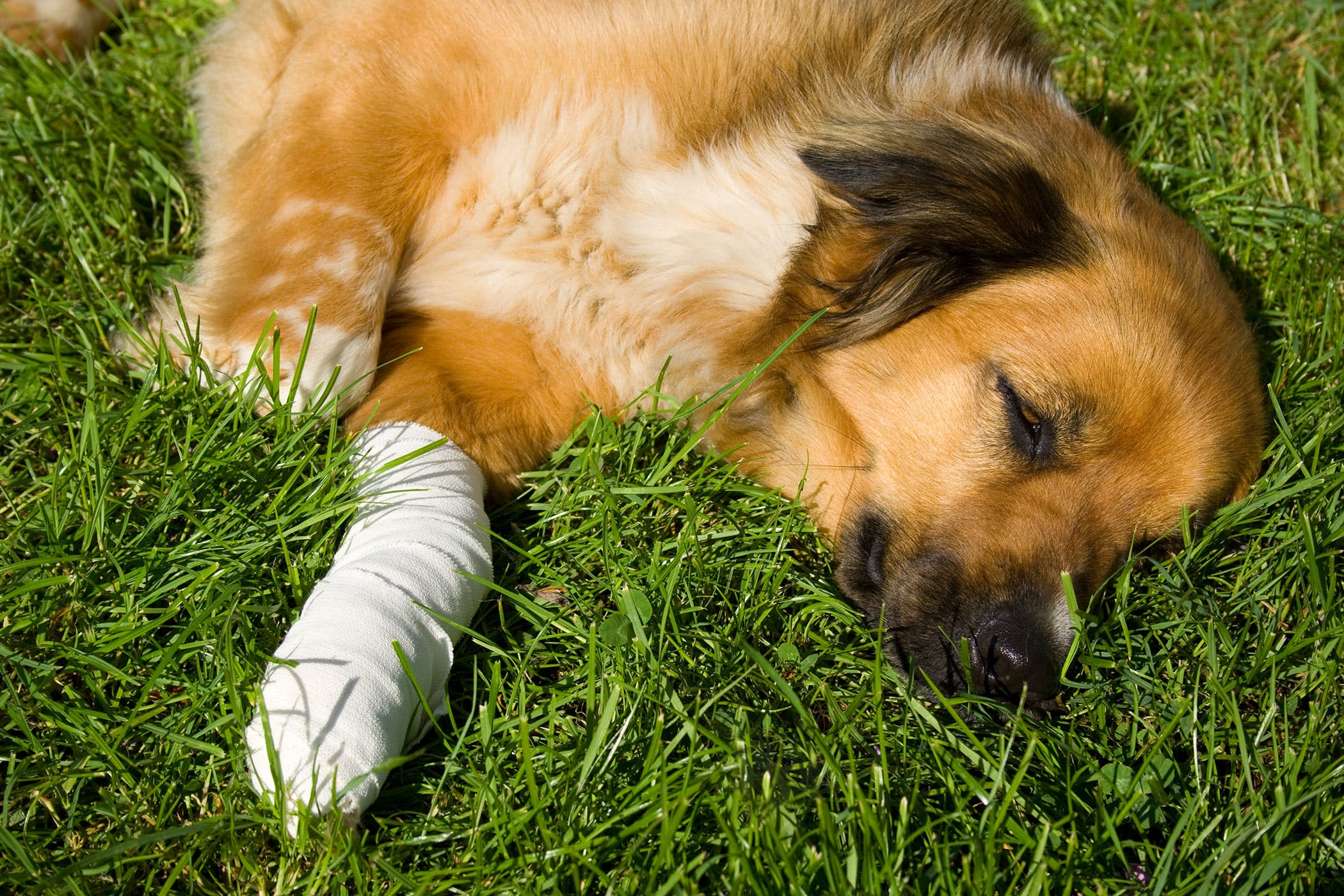 osteochondritis dissecans in dogs symptoms causes diagnosis