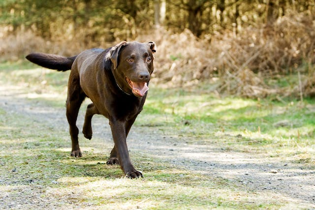 Osteosarcoma in Dogs - Symptoms, Causes, Diagnosis, Treatment, Recovery, Management, Cost