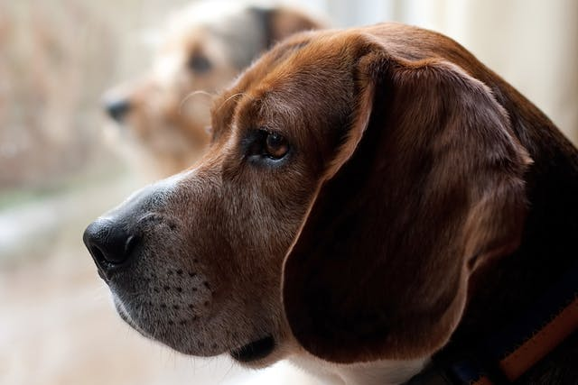 Otitis Interna and Media in Dogs - Symptoms, Causes, Diagnosis, Treatment, Recovery, Management, Cost