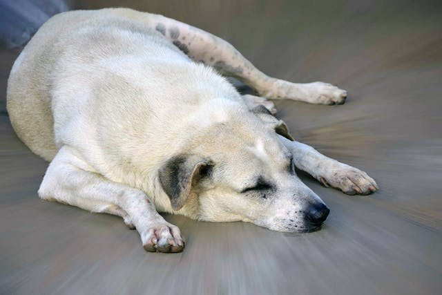 Overweight Dangers in Dogs - Symptoms, Causes, Diagnosis, Treatment, Recovery, Management, Cost