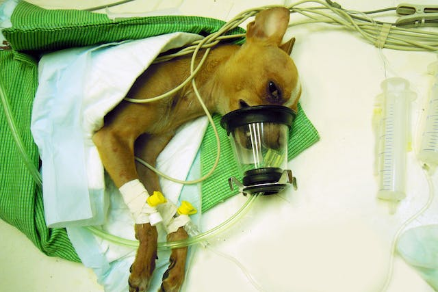Oxygen Therapy in Dogs - Conditions Treated, Procedure, Efficacy, Recovery, Cost, Considerations, Prevention