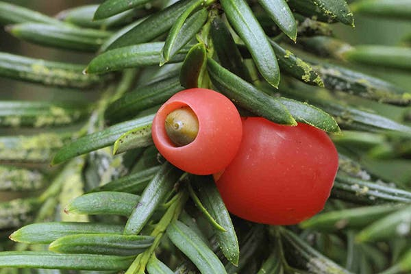 Pacific Yew Poisoning in Dogs - Symptoms, Causes, Diagnosis, Treatment, Recovery, Management, Cost