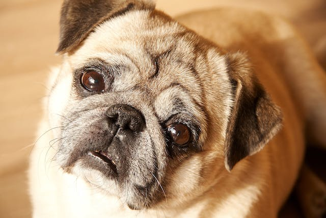 Pancreatic Exocrine Neoplasia in Dogs - Symptoms, Causes, Diagnosis, Treatment, Recovery, Management, Cost