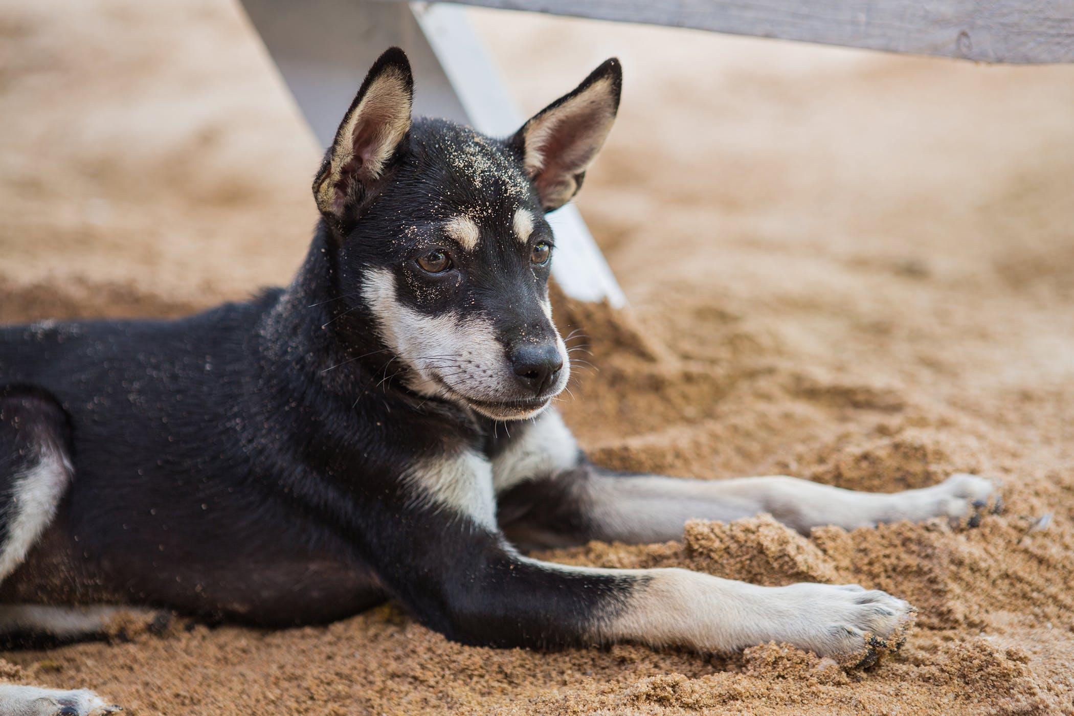 Pantarsal Arthrodesis in Dogs