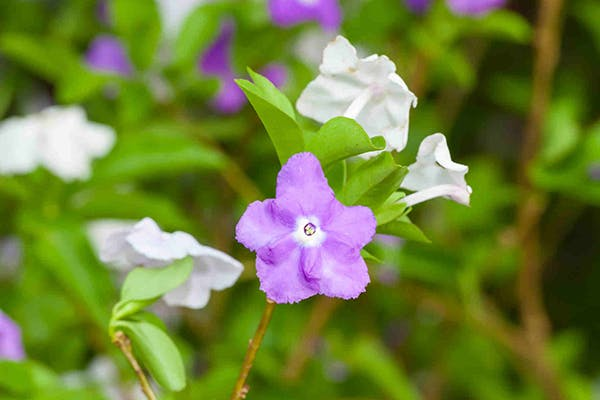 Paraguayan Jasmine Poisoning in Dogs - Symptoms, Causes, Diagnosis, Treatment, Recovery, Management, Cost