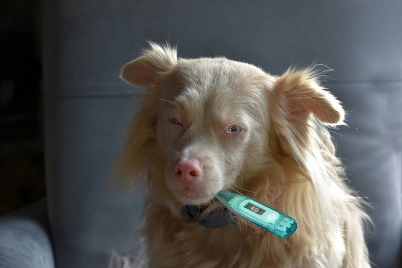 Parainfluenza Virus Infection in Dogs