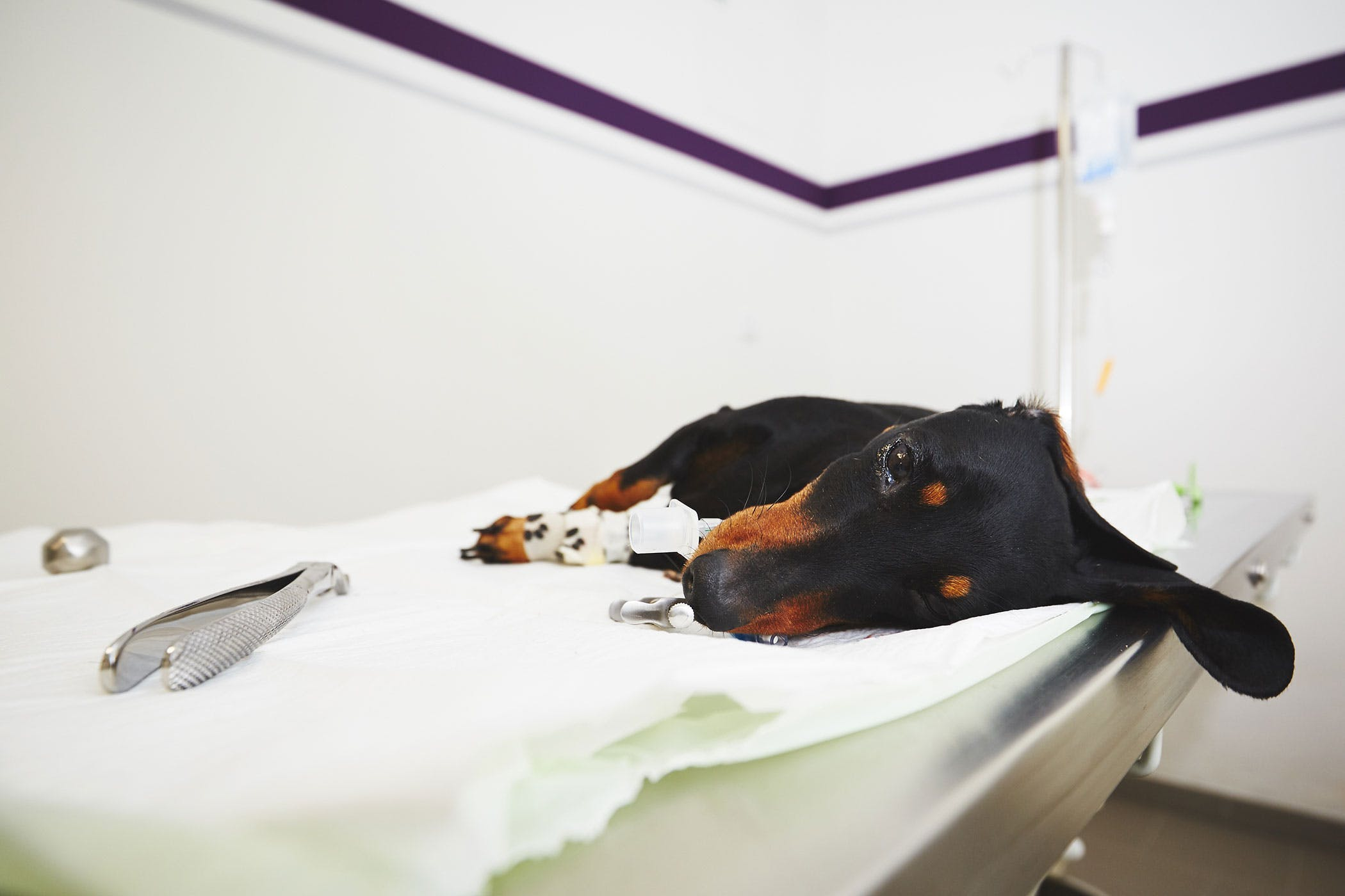 Paralysis Due to Spinal Cord Injury in Dogs - Symptoms