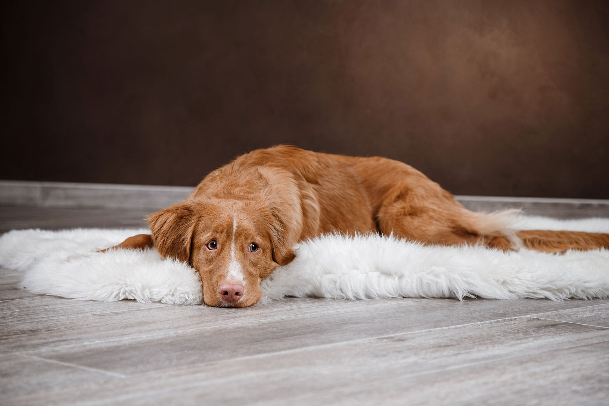 Paralysis due to Spinal Cord Lesion in Dogs - Symptoms