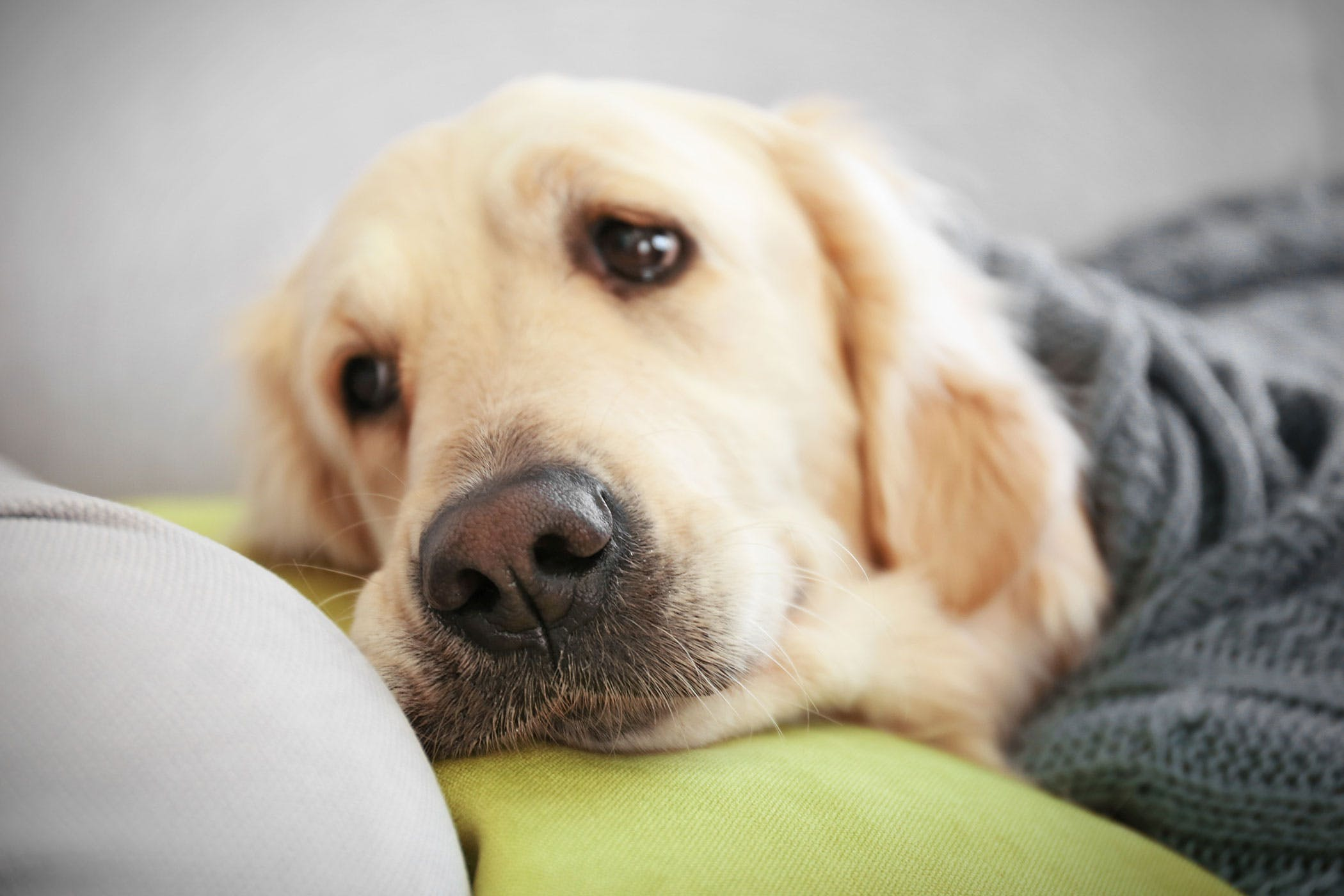 parasitic drug ivermectin poisoning in dogs symptoms causes