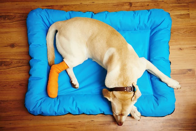 Patellar Luxation in Dogs - Symptoms, Causes, Diagnosis, Treatment, Recovery, Management, Cost