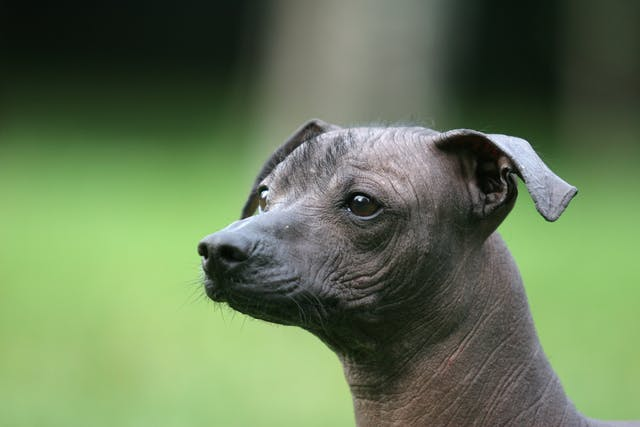 Pattern Baldness in Dogs - Symptoms, Causes, Diagnosis, Treatment, Recovery, Management, Cost