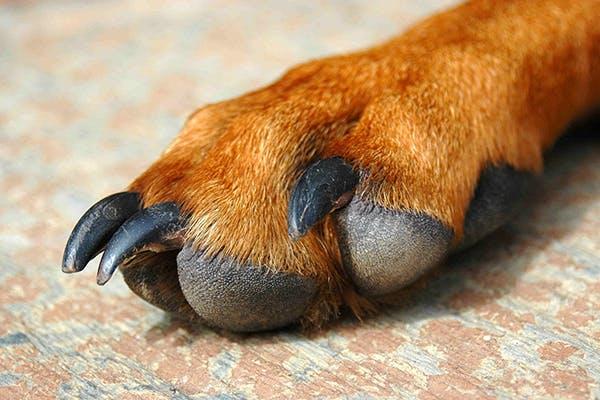 Canine lick sore granuloma from injury thin dick!