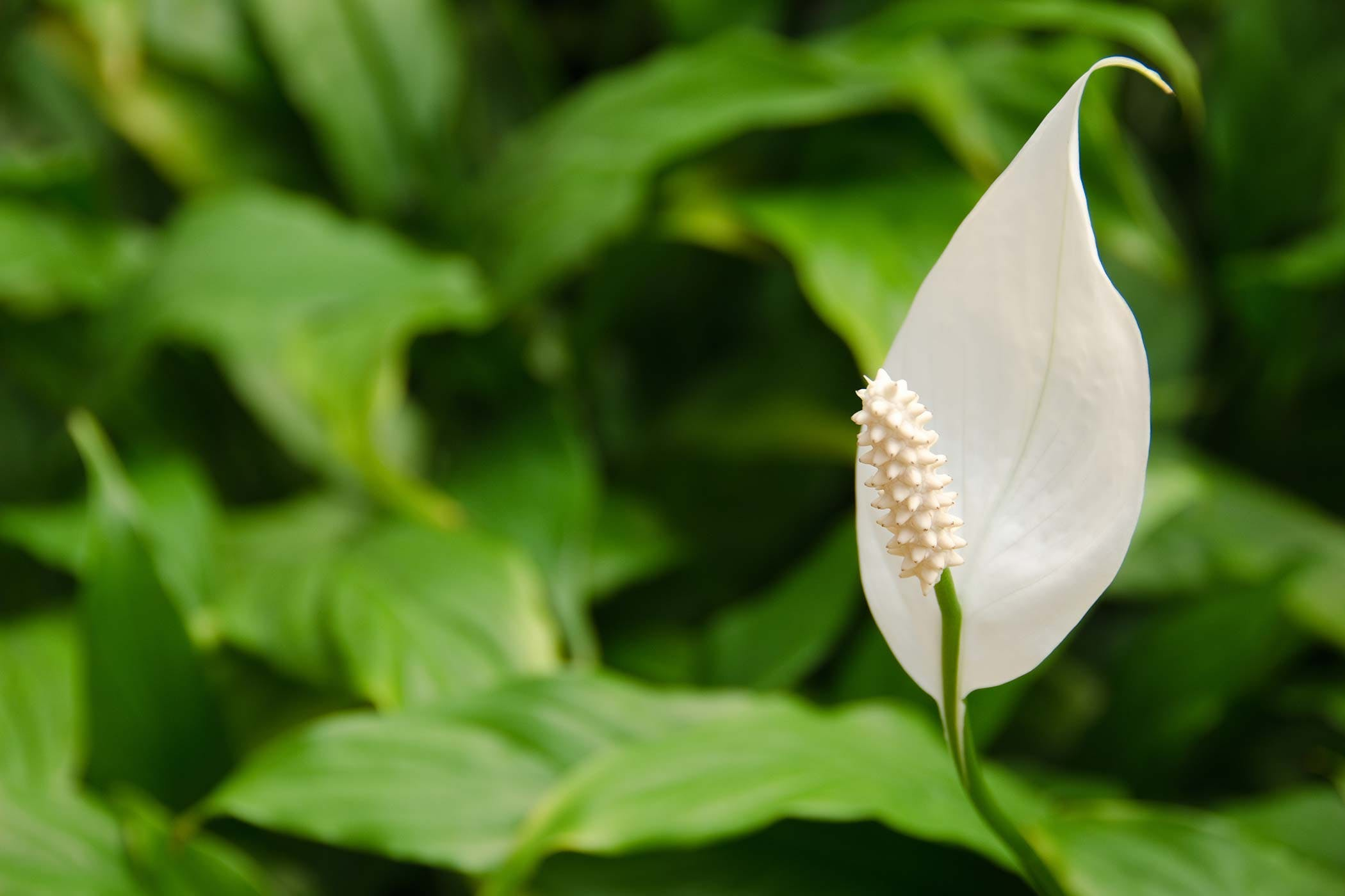 Peace Lily Poisoning In Dogs Symptoms Causes Diagnosis