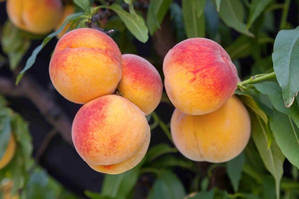 Peach Tree Poisoning in Dogs - Symptoms, Causes, Diagnosis