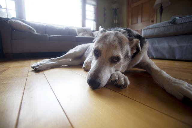 Pelger-Huët Anomaly in Dogs - Symptoms, Causes, Diagnosis, Treatment, Recovery, Management, Cost