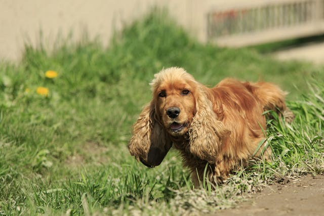 Posterior Displacement of the Bladder in Dogs - Symptoms, Causes, Diagnosis, Treatment, Recovery, Management, Cost