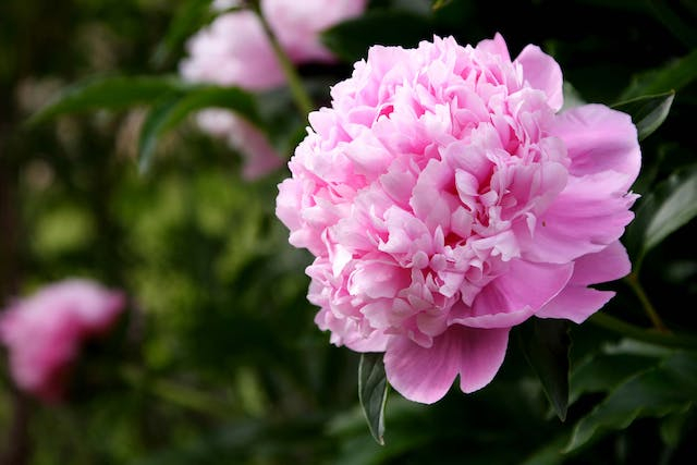 Peony Poisoning in Dogs - Symptoms, Causes, Diagnosis, Treatment, Recovery, Management, Cost
