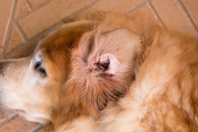 Perforated Wound in Dogs - Symptoms, Causes, Diagnosis, Treatment, Recovery, Management, Cost