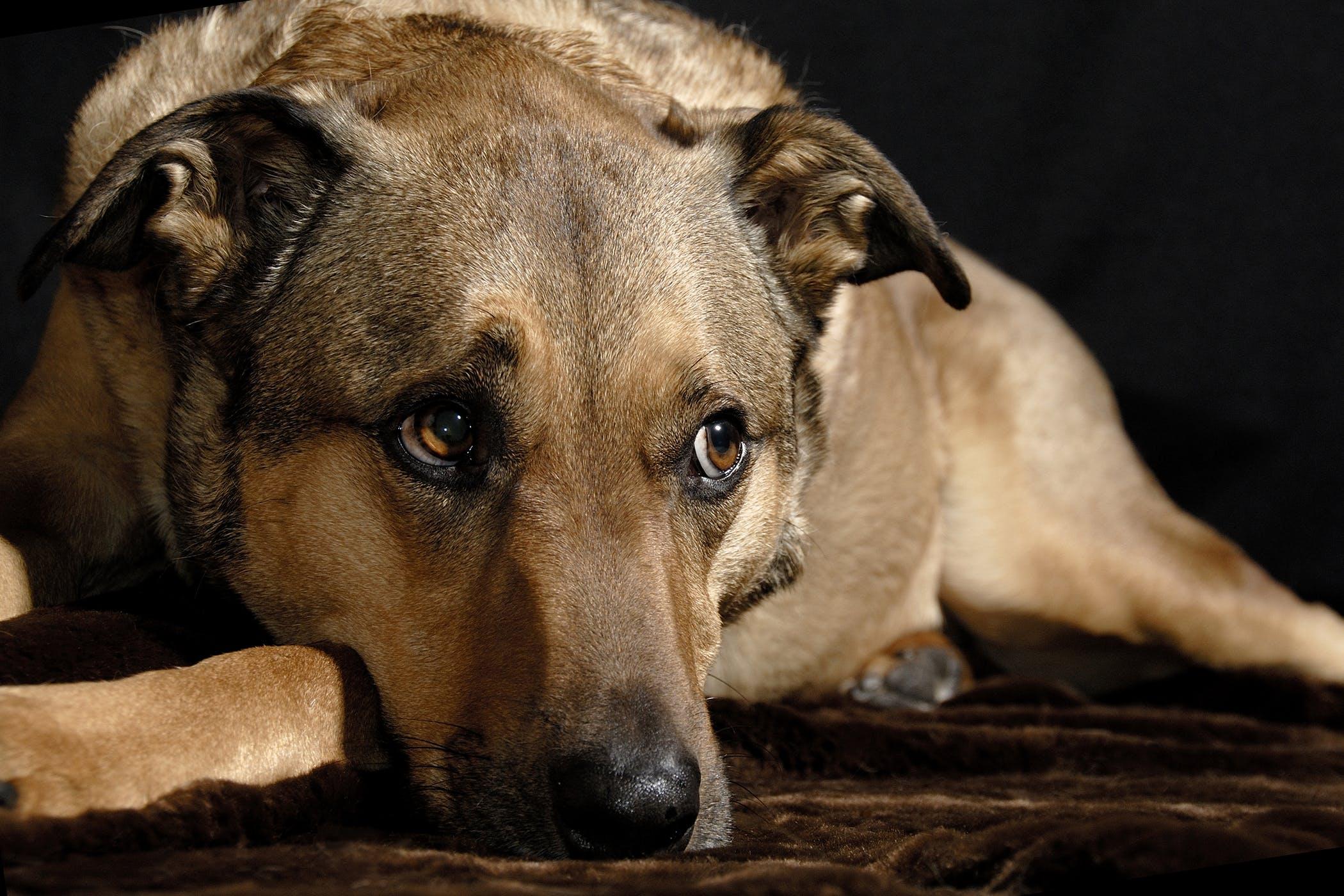 Pericardial Window in Dogs