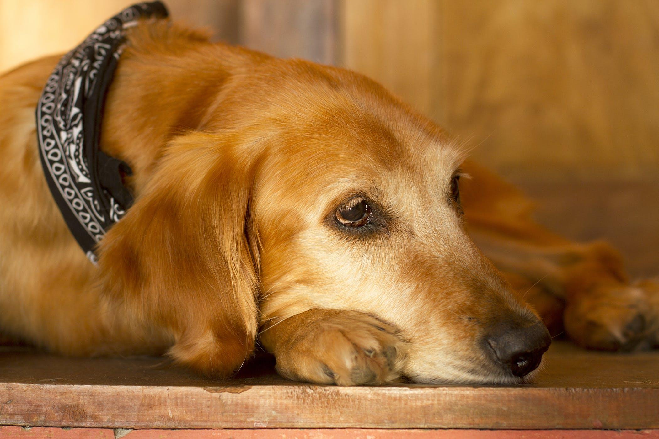 Pericardiocentesis in Dogs