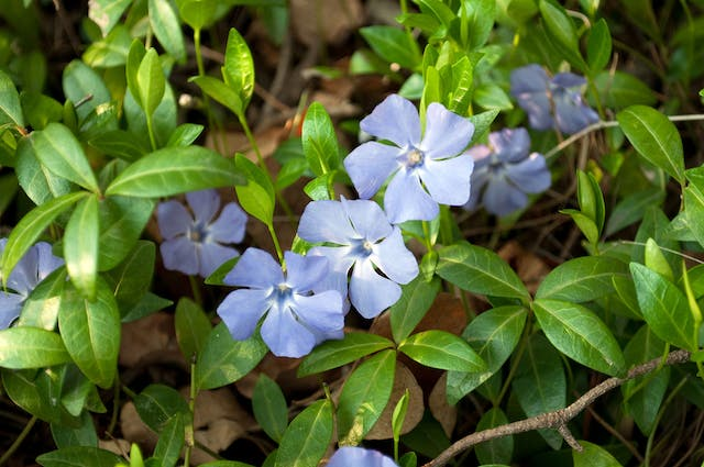 Periwinkle Poisoning in Dogs - Symptoms, Causes, Diagnosis, Treatment, Recovery, Management, Cost