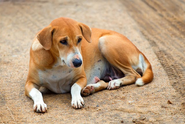 Physalopterosis in Dogs - Symptoms, Causes, Diagnosis, Treatment, Recovery, Management, Cost