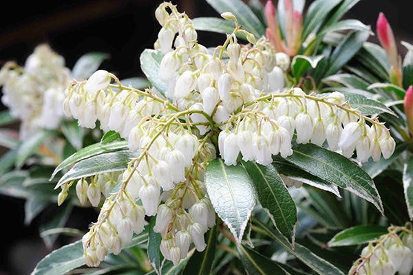 Pieris Poisoning in Dogs - Symptoms, Causes, Diagnosis, Treatment, Recovery, Management, Cost