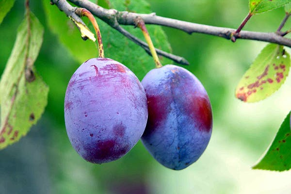 Plum Poisoning in Dogs - Symptoms, Causes, Diagnosis, Treatment, Recovery, Management, Cost