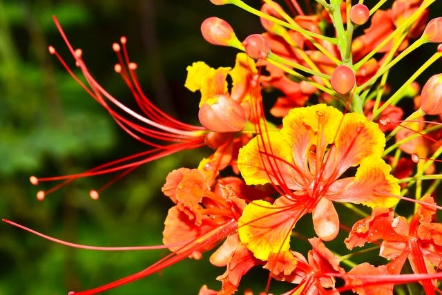 Poinciana Poisoning in Dogs - Symptoms, Causes, Diagnosis, Treatment, Recovery, Management, Cost