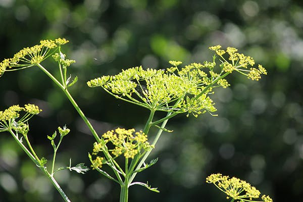 Poison Parsnip Poisoning in Dogs - Symptoms, Causes, Diagnosis, Treatment, Recovery, Management, Cost