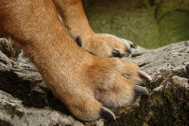 Polydactyly in Dogs - Symptoms, Causes, Diagnosis, Treatment, Recovery, Management, Cost
