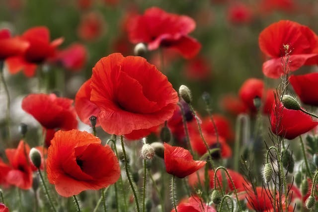 Poppy Poisoning in Dogs - Symptoms, Causes, Diagnosis, Treatment, Recovery, Management, Cost