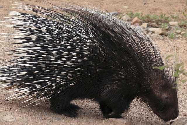 Porcupine Quills in Dogs - Symptoms, Causes, Diagnosis, Treatment, Recovery, Management, Cost