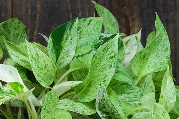 Pothos Poisoning in Dogs - Symptoms, Causes, Diagnosis, Treatment, Recovery, Management, Cost