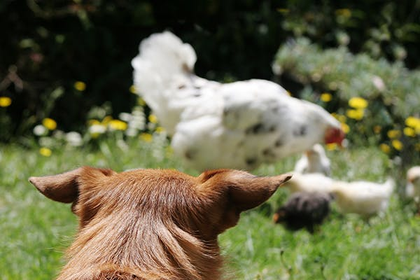 Poultry Allergies in Dogs - Symptoms, Causes, Diagnosis, Treatment, Recovery, Management, Cost