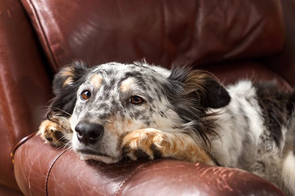 Prayer Bean Poisoning in Dogs - Symptoms, Causes, Diagnosis, Treatment, Recovery, Management, Cost