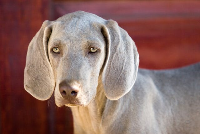 Primary Lung Tumors in Dogs - Symptoms, Causes, Diagnosis, Treatment, Recovery, Management, Cost