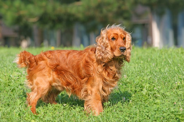 Prostatitis in Dogs - Symptoms, Causes, Diagnosis, Treatment, Recovery, Management, Cost