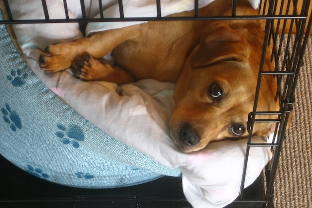 Pseudocoprostasis in Dogs - Symptoms, Causes, Diagnosis, Treatment, Recovery, Management, Cost
