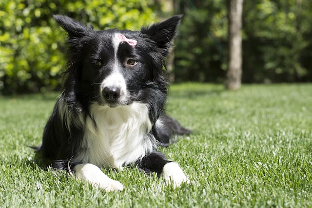 Psoriasiform-Lichenoid Dermatosis in Dogs - Symptoms, Causes, Diagnosis, Treatment, Recovery, Management, Cost