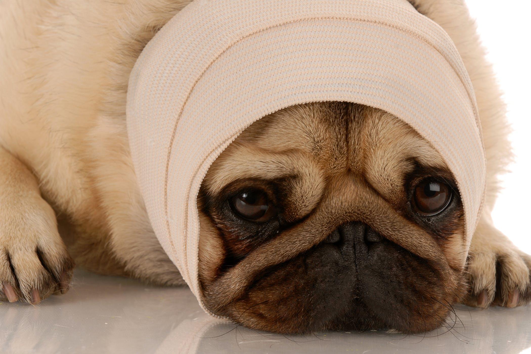 Pug Dog Encephalitis In Dogs Symptoms Causes Diagnosis