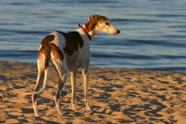 Pulmonary  Contusion in Dogs - Symptoms, Causes, Diagnosis, Treatment, Recovery, Management, Cost