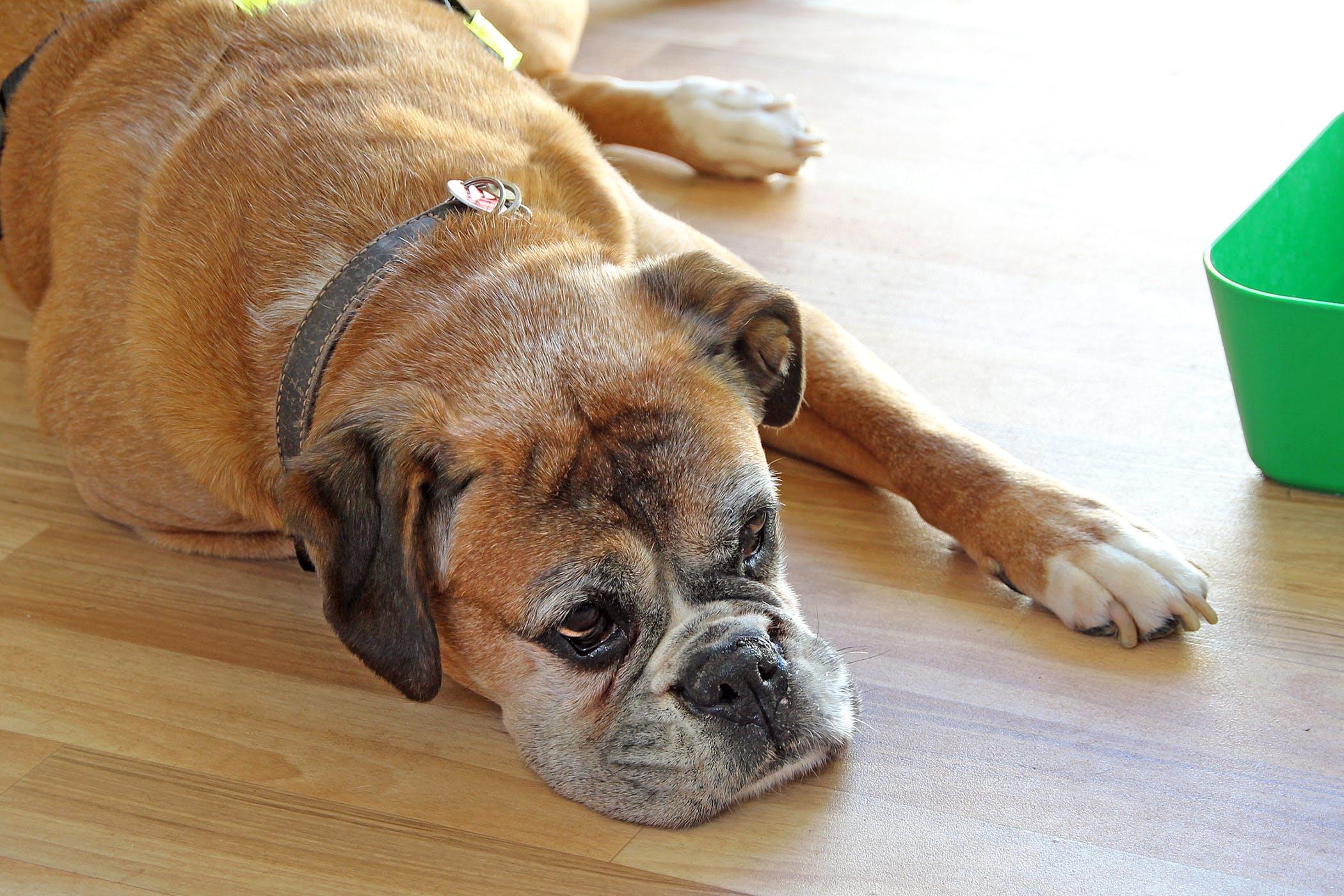 Pulmonary Edema in Dogs - Symptoms, Causes, Diagnosis