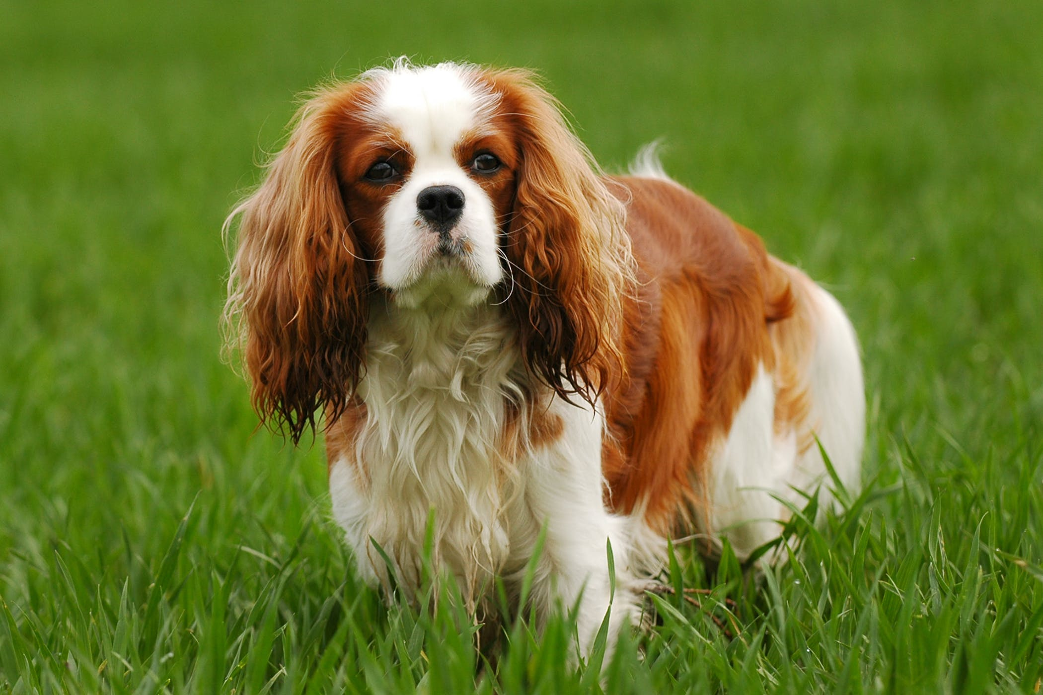 Pulmonary Fibrosis in Dogs - Symptoms, Causes, Diagnosis