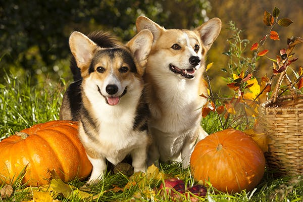 what is pumpkin used for in dogs