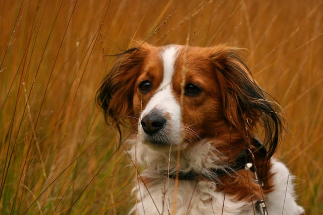 Puppy Impetigo in Dogs - Symptoms, Causes, Diagnosis, Treatment, Recovery, Management, Cost