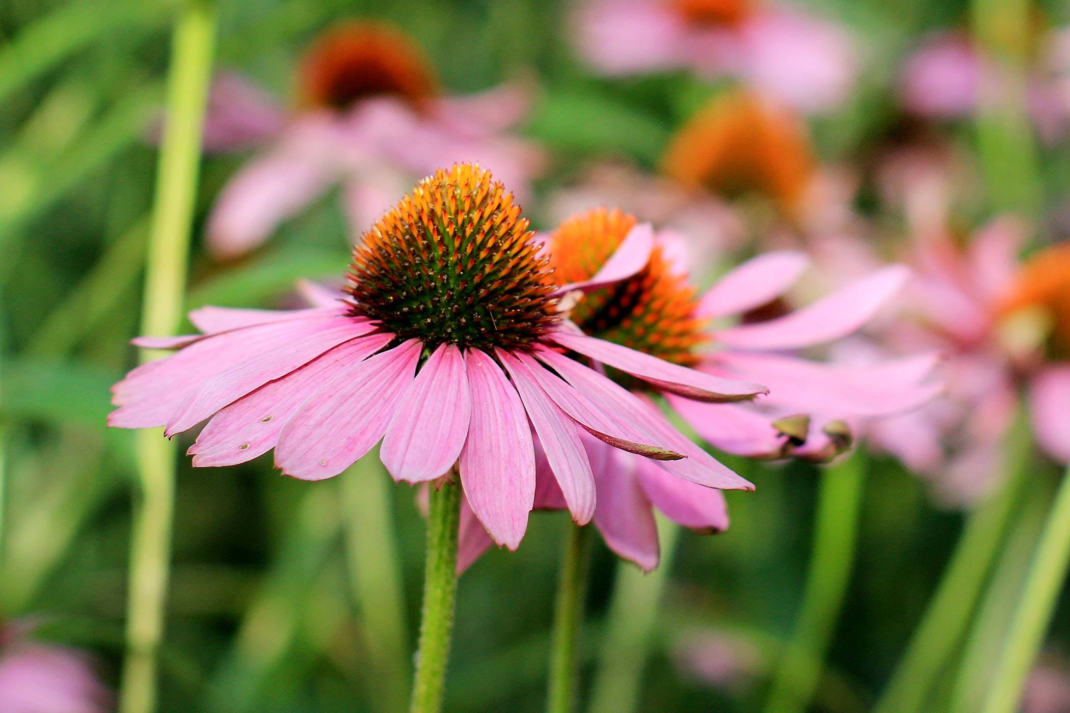 Purple Coneflower (Echinacea) Poisoning in Dogs