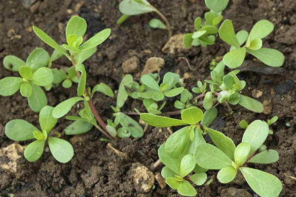 Purslane Poisoning in Dogs - Symptoms, Causes, Diagnosis, Treatment, Recovery, Management, Cost