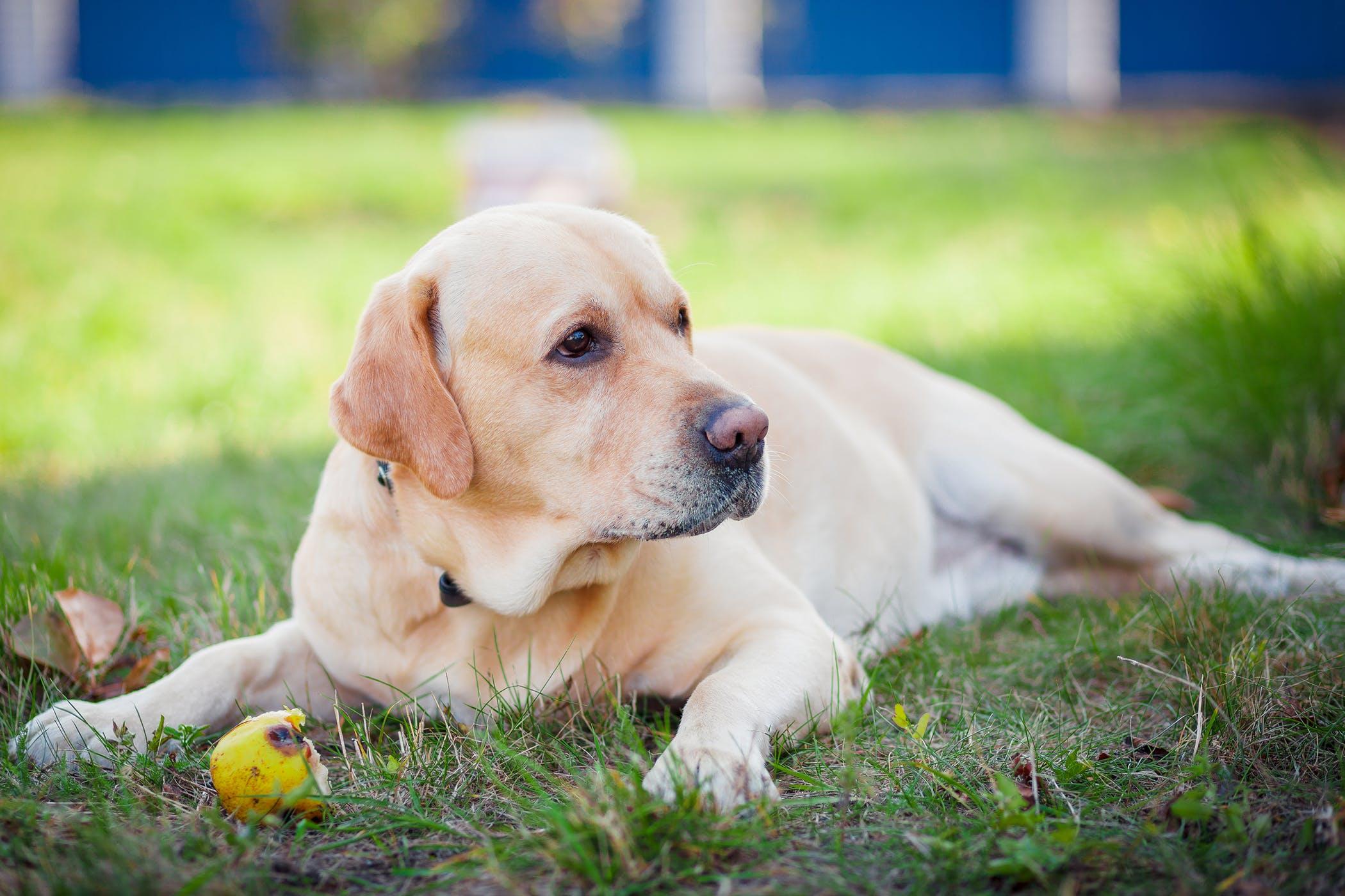 Pyloroplasty in Dogs