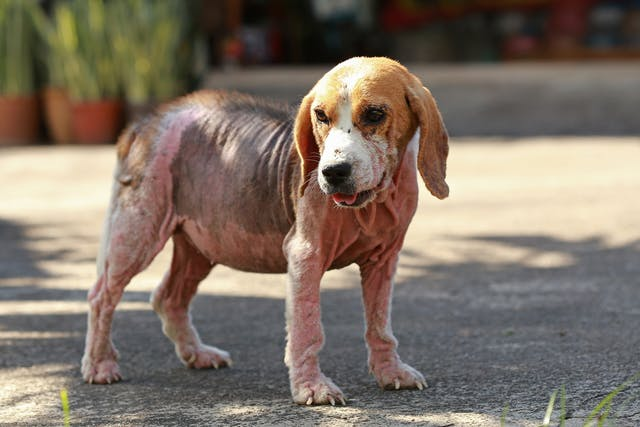 Pyoderma in Dogs - Symptoms, Causes, Diagnosis, Treatment, Recovery, Management, Cost